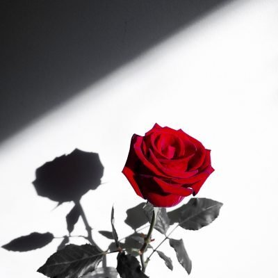 "A Valentine Story – ""The Girl with the Rose"""